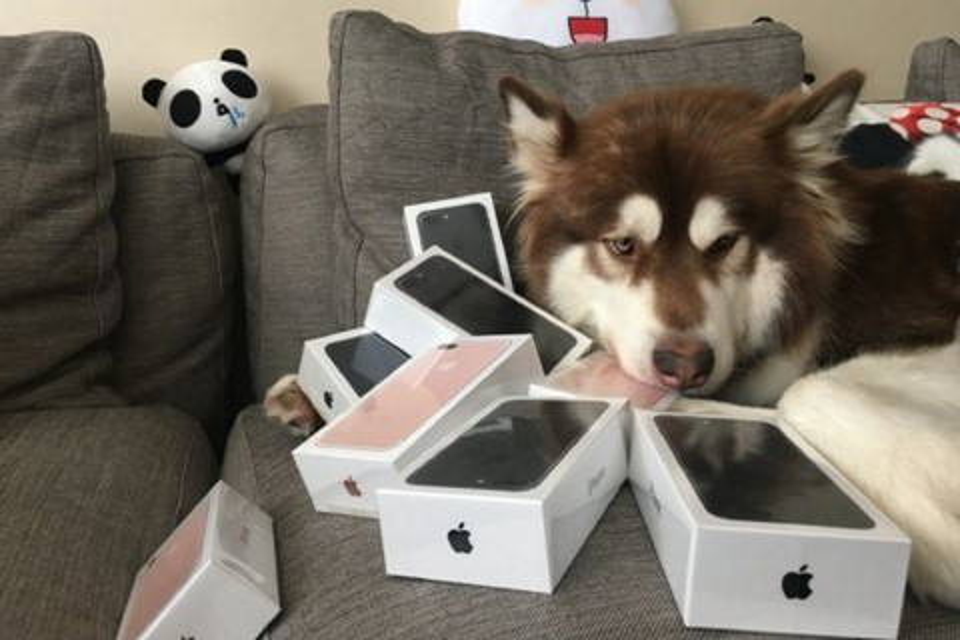 """Imagem de Vida de cão? Um cachorro malamute """"ganhou"""" oito iPhones 7  no tecmundo"""