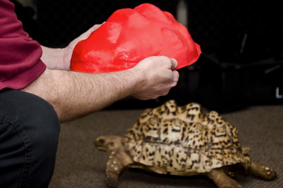 Imagem de Tartaruga ganha casco feito por impressora 3D no site TecMundo