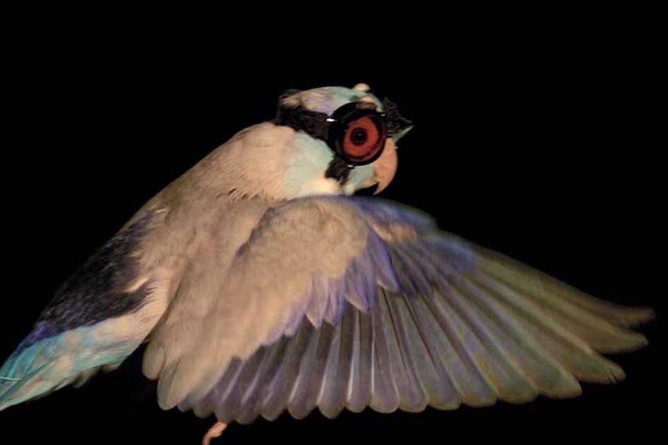 Imagem de Fofo! Periquito com óculos de proteção voa entre lasers em nome da ciência no tecmundo